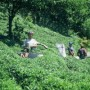 Collecting Tea - Pelin Aylangan